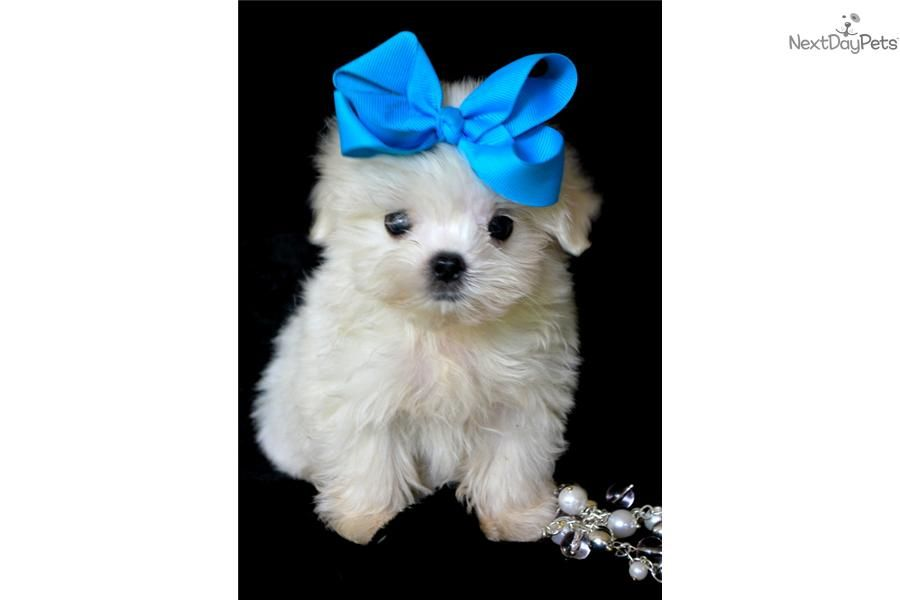 I Am A Cute Maltese Puppy Looking For A Home On Nextdaypets Com Malteser