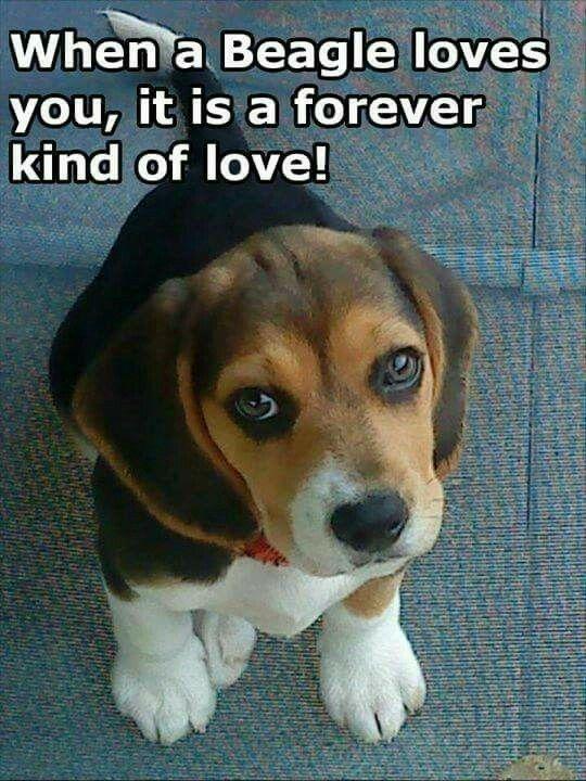 Pin By David Thomas On Beagle Puppies Beagle Cute