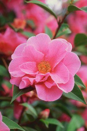 Camellia Reticulata Hybrid Leonard Messel U K 1958 Camellia Camellia Flower