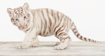 Is it wrong for me to want a pet tiger?