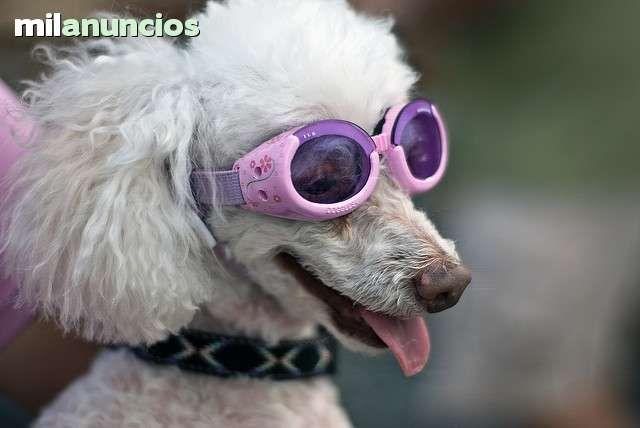 . Gafas marca doggles protectoras para perros. protegen del sol. Nuevas y rebajadas por cierre de tienda. 100% de protecci�n UV . Lentes inastillables, anti-vaho, Marco de goma super flexibles , Lentes intercambiables,, extra�bles. talla xs: perros hasta 5