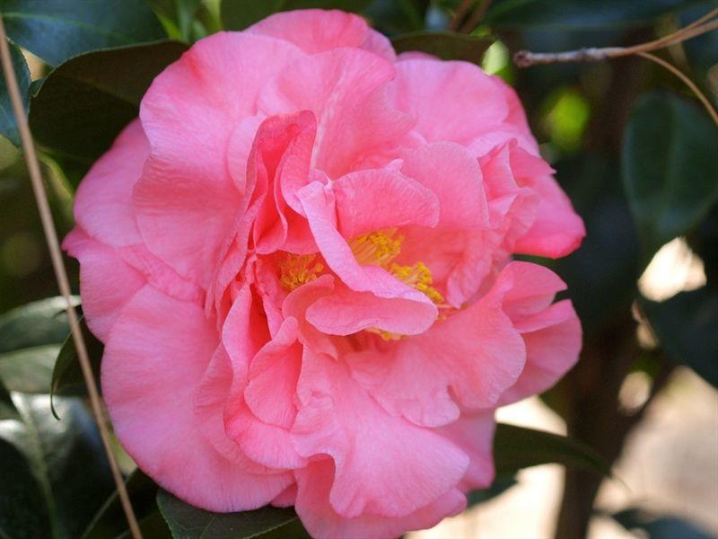 Ack Scent Ack Scent Hybrid Seedling Of Hybrid C Japonica Kramer S Supreme X C Hybrid Fragrant Pink Improved 4 Camellia Plant Growth Flowers