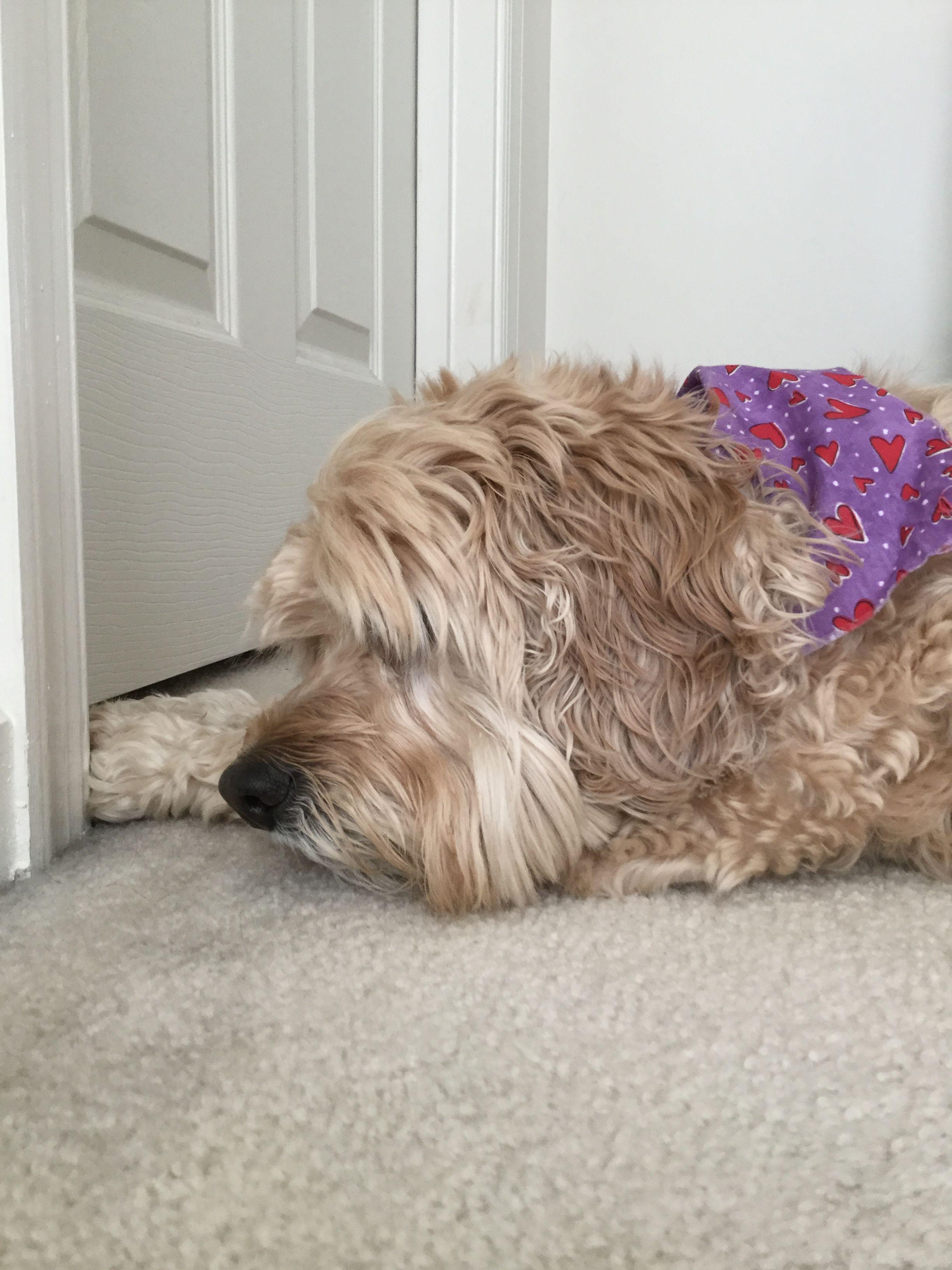 Such a cute cockapo doggie!!! Adorbs