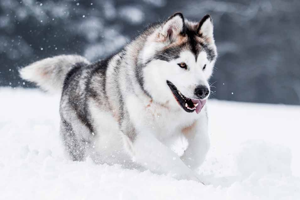 What Is The Difference Between Alaskan Malamutes Siberian And