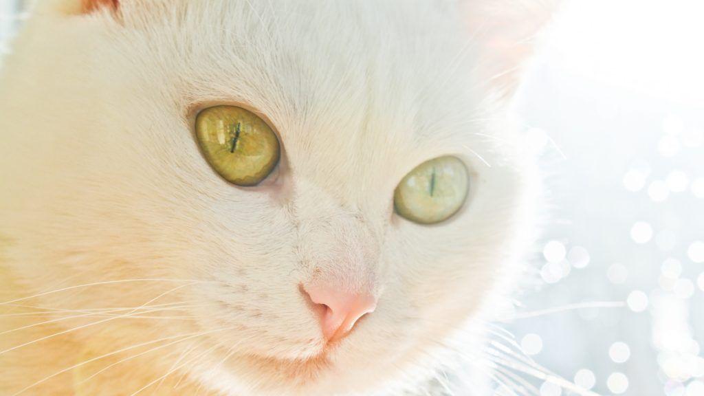Fond D Ecran Gratuit A Telecharger Un Visage De Chat Blanc Sur Un Fond Artistique In 2020 Cats White Cats White Cat