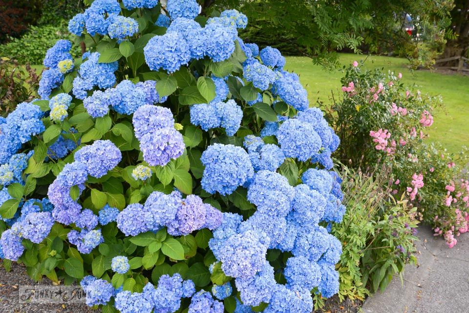 If it werent for those ever reliable perennials in bloom blue hydrangeas if it werent for those ever reliable blooming perennials via funkyjunkinteriors mightylinksfo