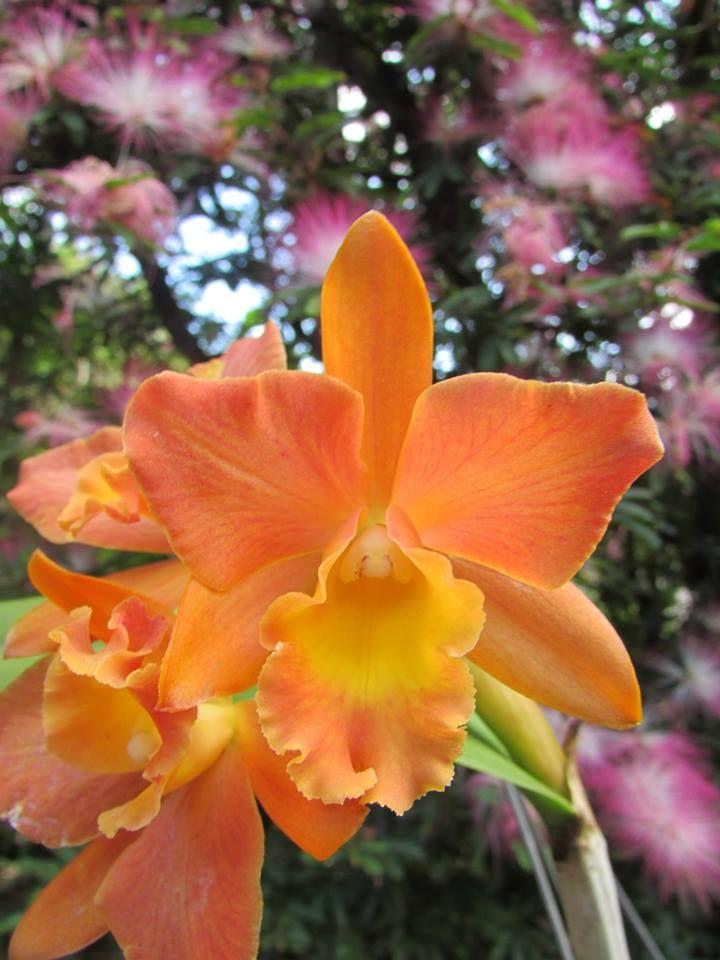 Blc Pokai-Tangerine-'Lea' Mai/2014