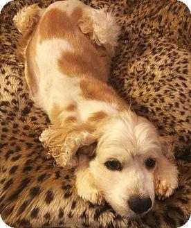 Haslet Tx Cocker Spaniel Meet Rosie A Dog For Adoption Dog