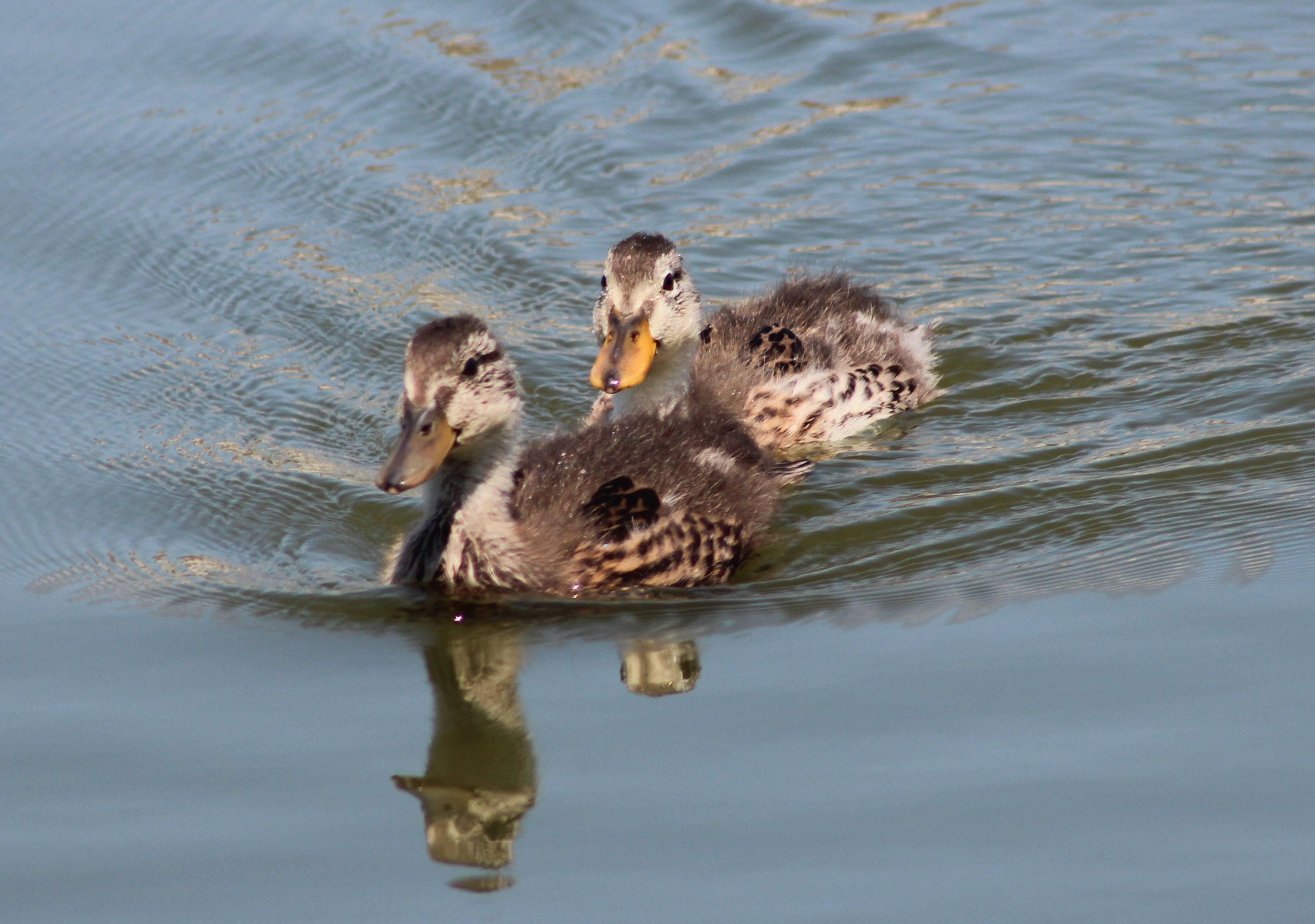 Baby Ducks Photography By Sandy Mixon Virginia Water Fowl Birds