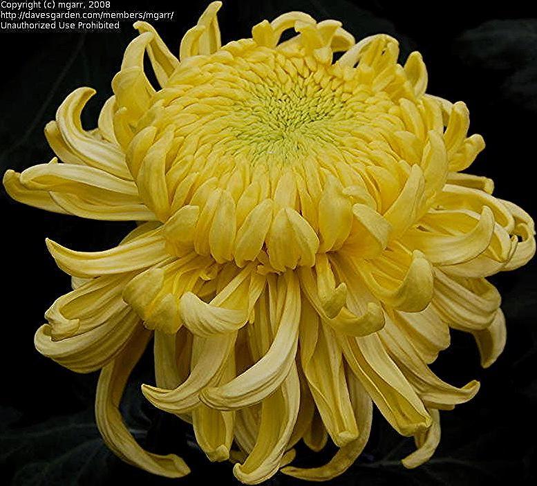 Plantfiles Pictures Irregular Incurve Mum Kokka Senkin Chrysanthemum Morifolium 1 By Mg In 2020 Chrysanthemum Morifolium Chrysanthemum Flower Seeds Chrysanthemum