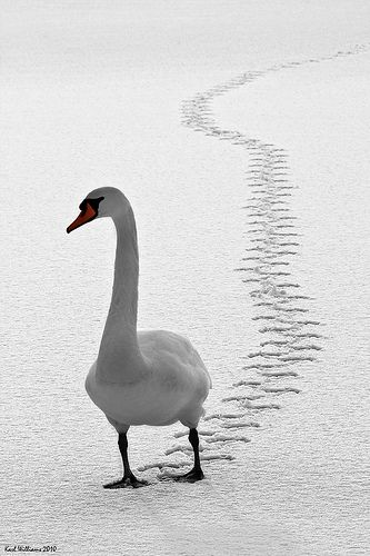 A Mute Swan, probably in the hope of some food from yours truly,  trudges across the frozen surface of Loch Ard in the Trossachs.