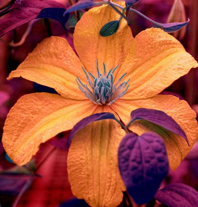 Enchanted Clematis