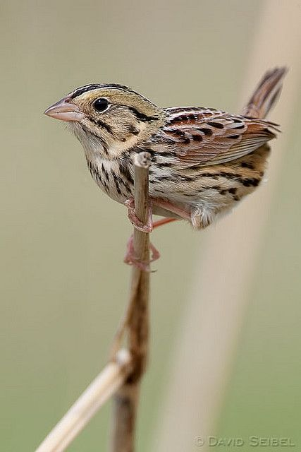 Henslow's Sparrow   Backyard birds, Ontario birds, Wild birds
