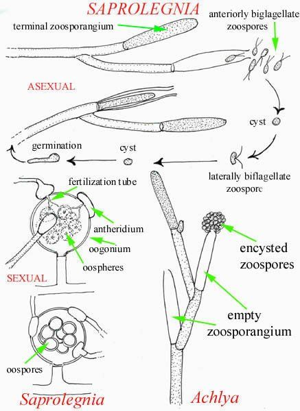 Pin By Aerobe On Fungi Pinterest Fungi Medical And Diagram