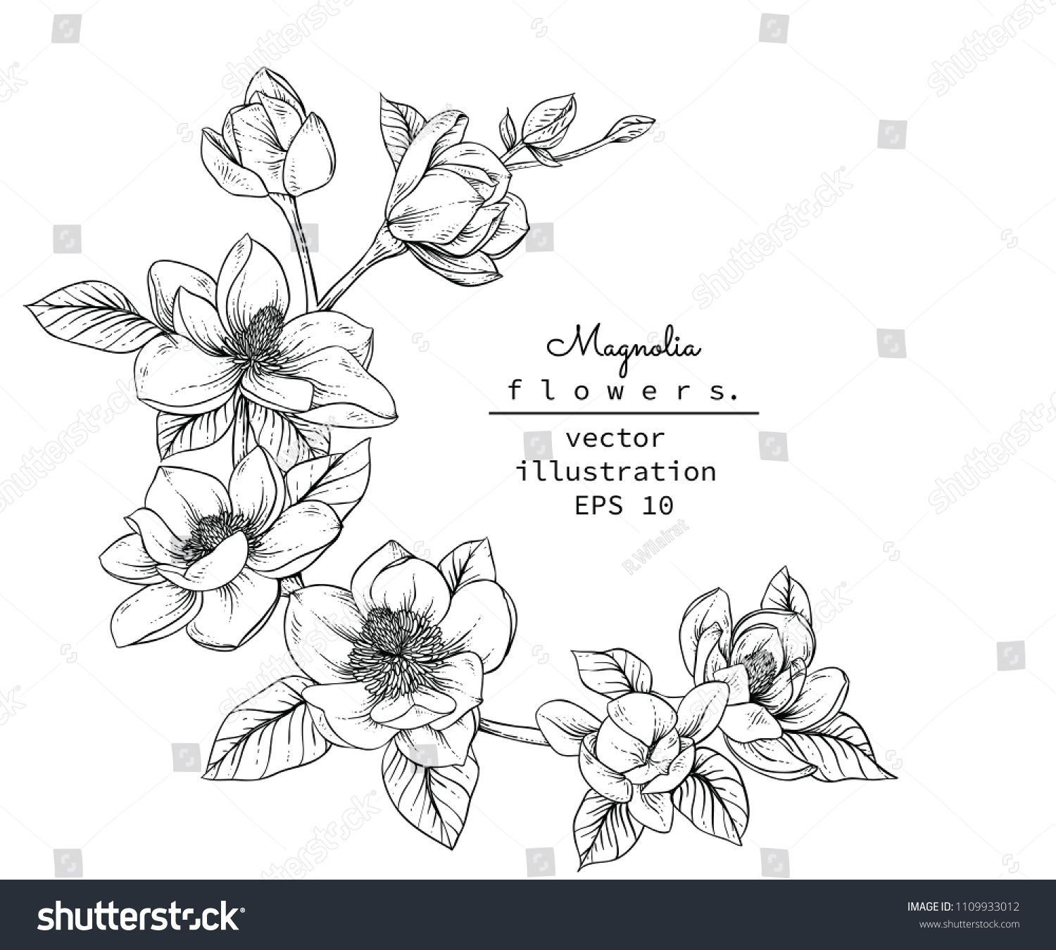 Sketch Floral Botany Collection Magnolia Flower Drawings Black And White With Line Art On White Backgrounds H Flower Drawing Flower Sketches Magnolia Flower