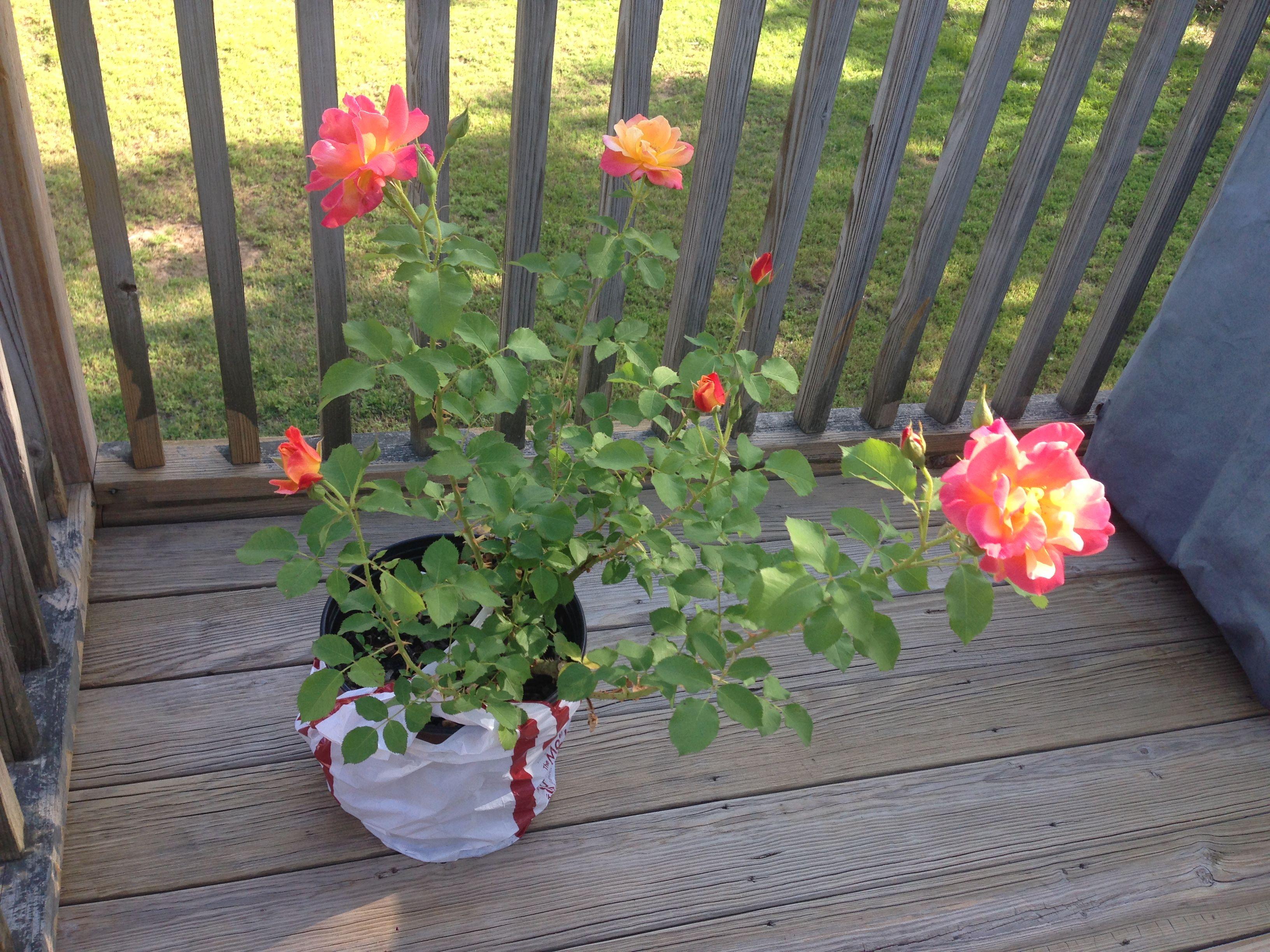 Ho/how to take care of climbing roses for winter - Joseph S Coat Climbing Rose The Good Earth Garden Center Little Rock