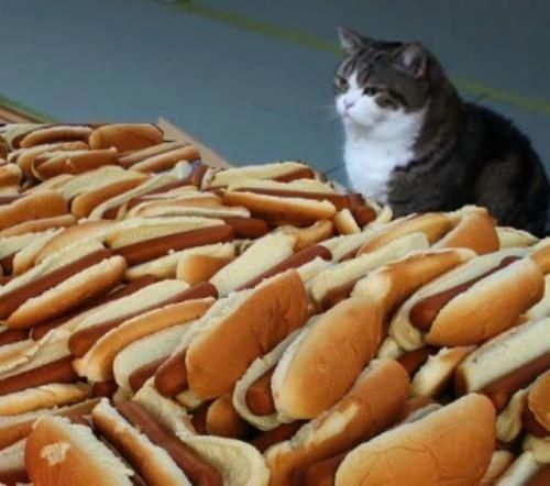 I Was Not That Hungry Hot Dogs Cats Animal Memes