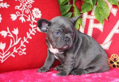 List Of Frenchbulldog Breeders Michigan French Bulldog Breeders
