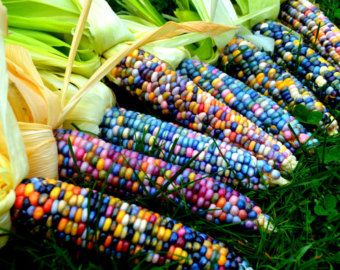 Glass Gem Corn, gorgeous, 25 seeds, rare heirloom, original