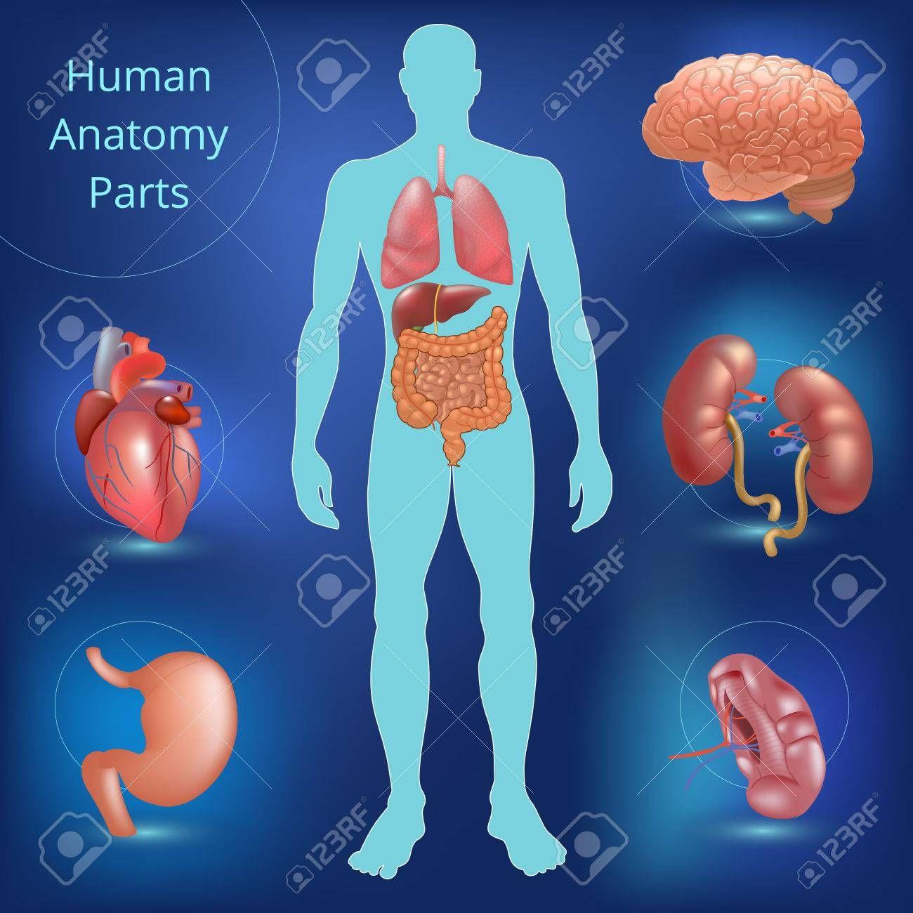 Human Anatomy Of Liver Human Body Anatomy Human Body Human Body