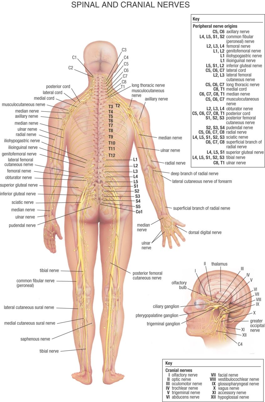 human physiology the spinal and cranial nerves nursing anatomy nervous system nerve location diagram [ 846 x 1280 Pixel ]