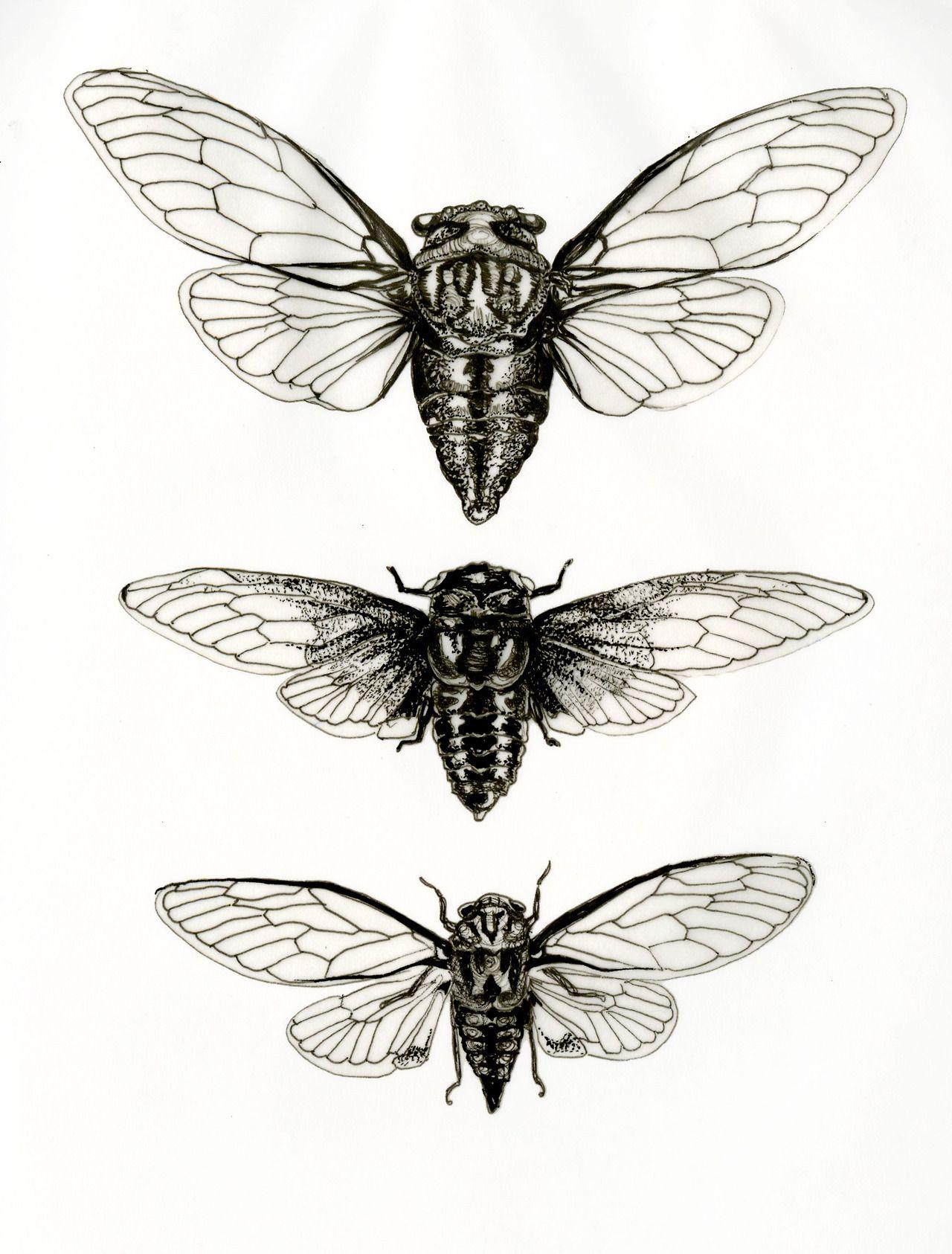 mirandamontes cicada studies ink miranda montes art pinte. Black Bedroom Furniture Sets. Home Design Ideas