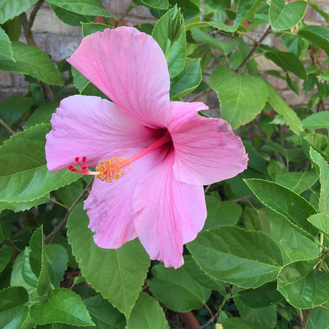 Classic Pink Hibiscus Single Pink Rosa Flowers Hibiscus Plant Hibiscus Flowers