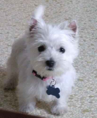 Www Wisteria Avenue Co Uk Westie Puppies Dog Breed Info Westies