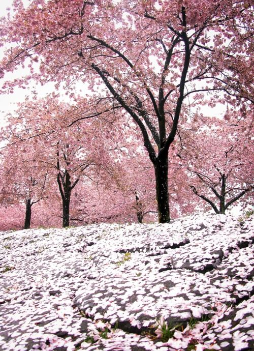 Sakura Blossom Trees Beautiful Nature Nature