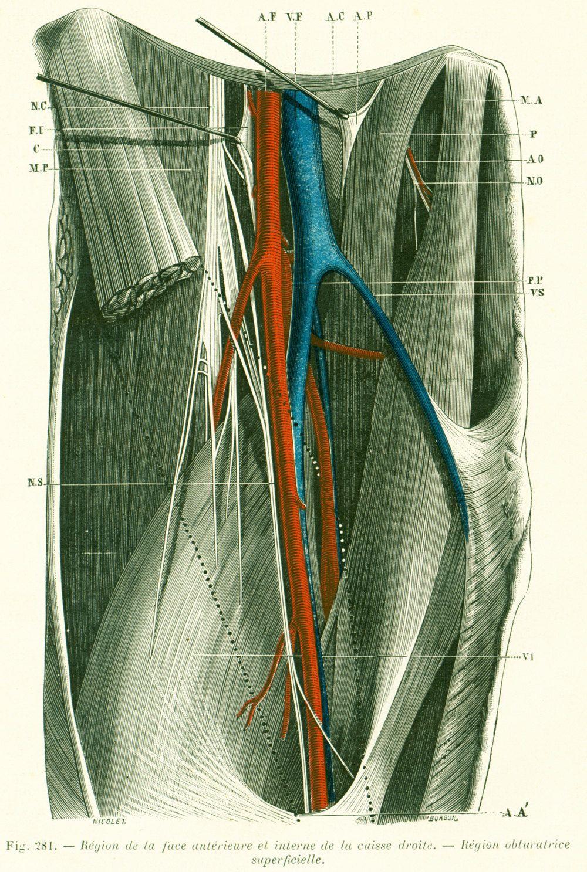1897 Leg anatomy, Leg Inner Thighs Muscles Artery Veins, Human ...