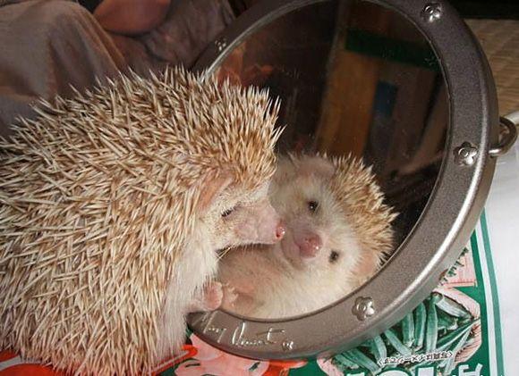 Cute Hedgehog Looking Itself In A Mirror