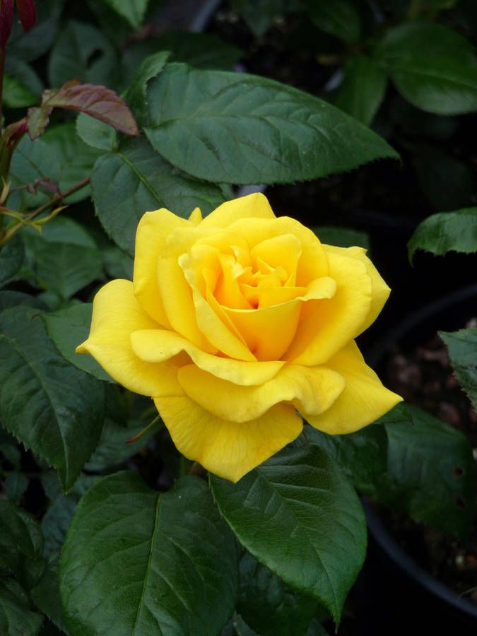 'Golden Wedding', Floribunda rose. Jack E. Christensen (United States, 1992).