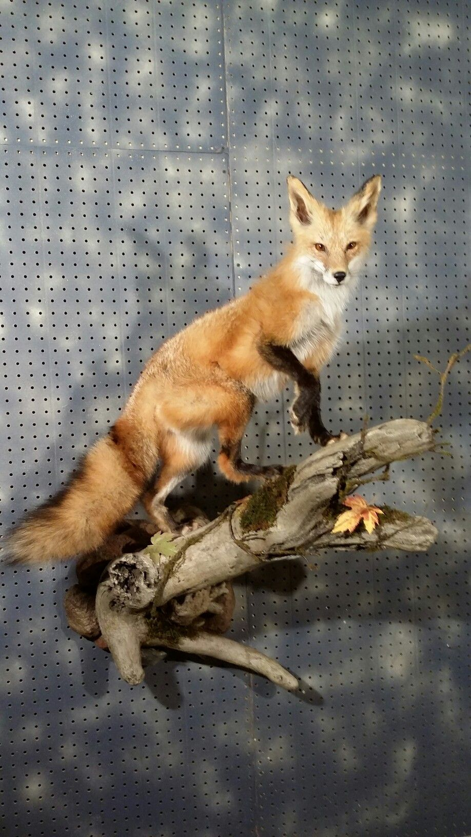 Red Fox Wall Mount Fur Feathers And Fins Taxidermy