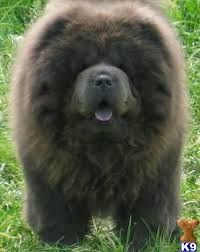 Chow Chow Black Blue Tongue Fluffy Fur Double Coated Black