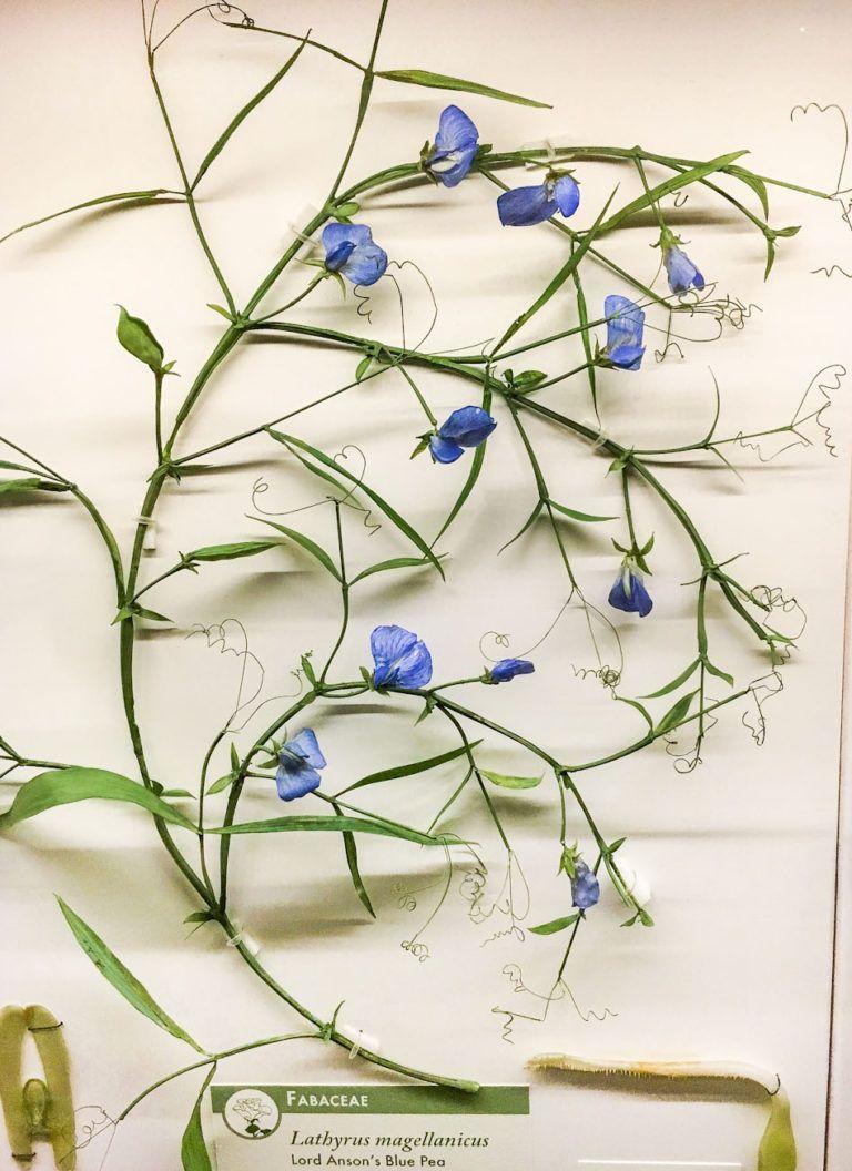 Glass Flowers Exhibit Harvard Museum Of Natural History Glasskulptur Blumen Kunst Glas