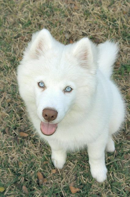 Pin By Cydnie Stone On Pomsky Siberian Husky Dog Obsessed Dogs