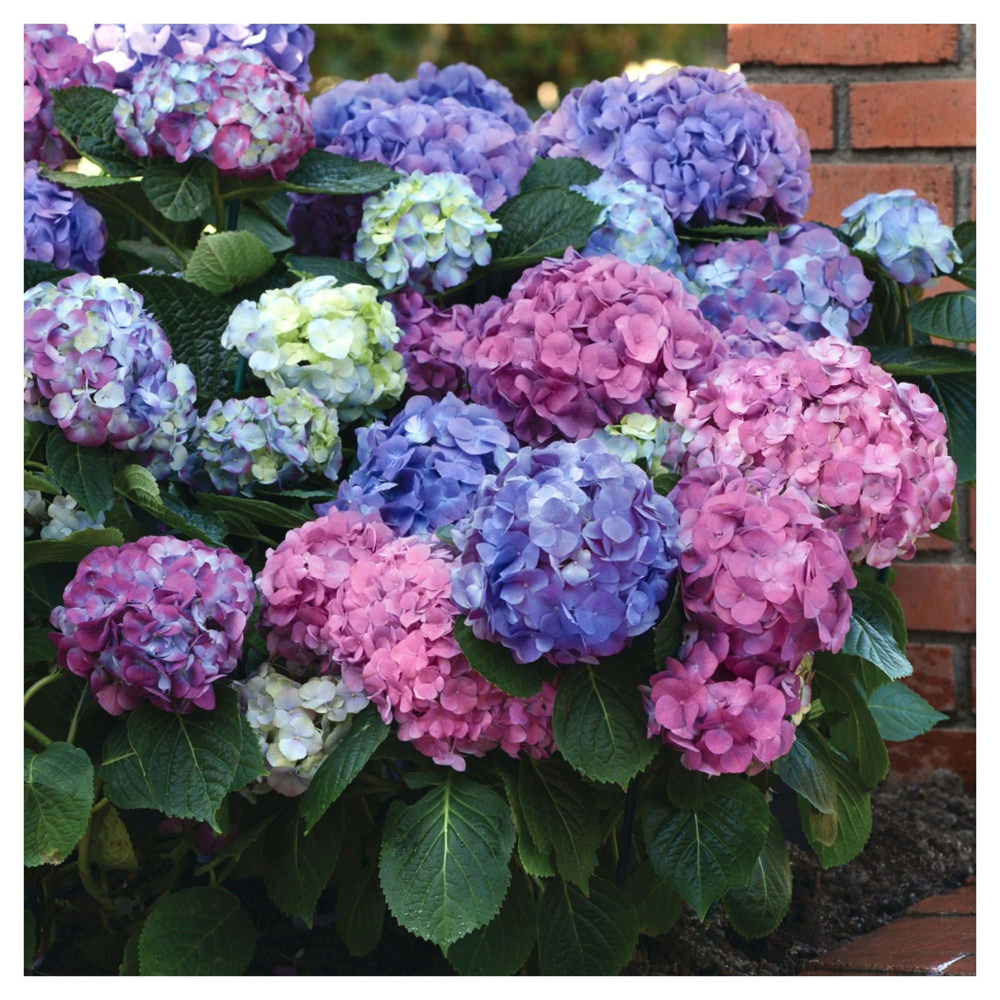 Hydrangea La Dreamin 3pc National Plant Network U S D A Hardiness Zones 5 10 With Images Plants Perennial Flowering Vines Summer Hydrangeas