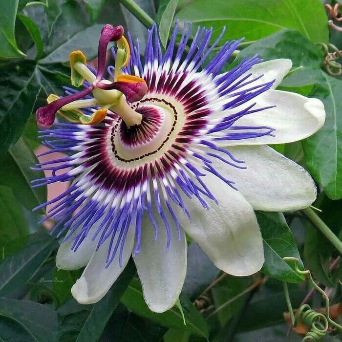Passion Flower Passion Flower Passion Fruit Flower Blue Passion Flower