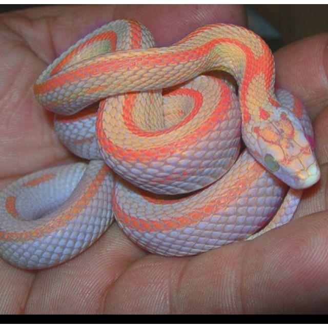 Corn Snake Pet Snake Reptile Snakes Corn Snake