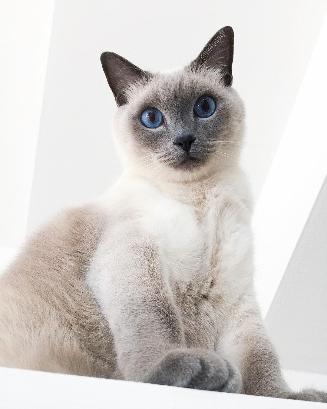 Felippo Blue Point Siamese Cat On Instagram Just To Make Things