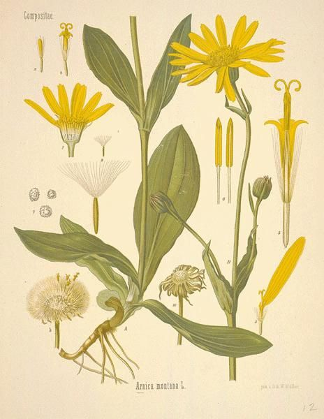 Arnica Montana [bruises, muscle strains, sprains, swelling]