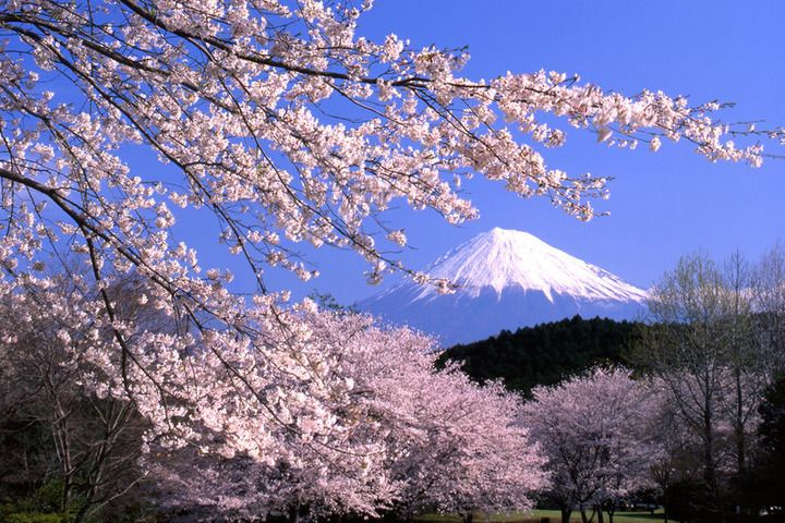 Japan's Cherry Blossom - You can't get a more iconic image ...