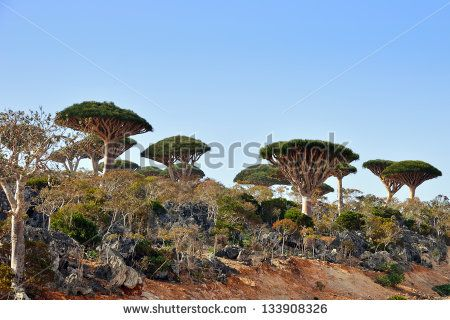 Endemic plant Dragon Blood Tree in the island Socotra, Yemen - stock photo