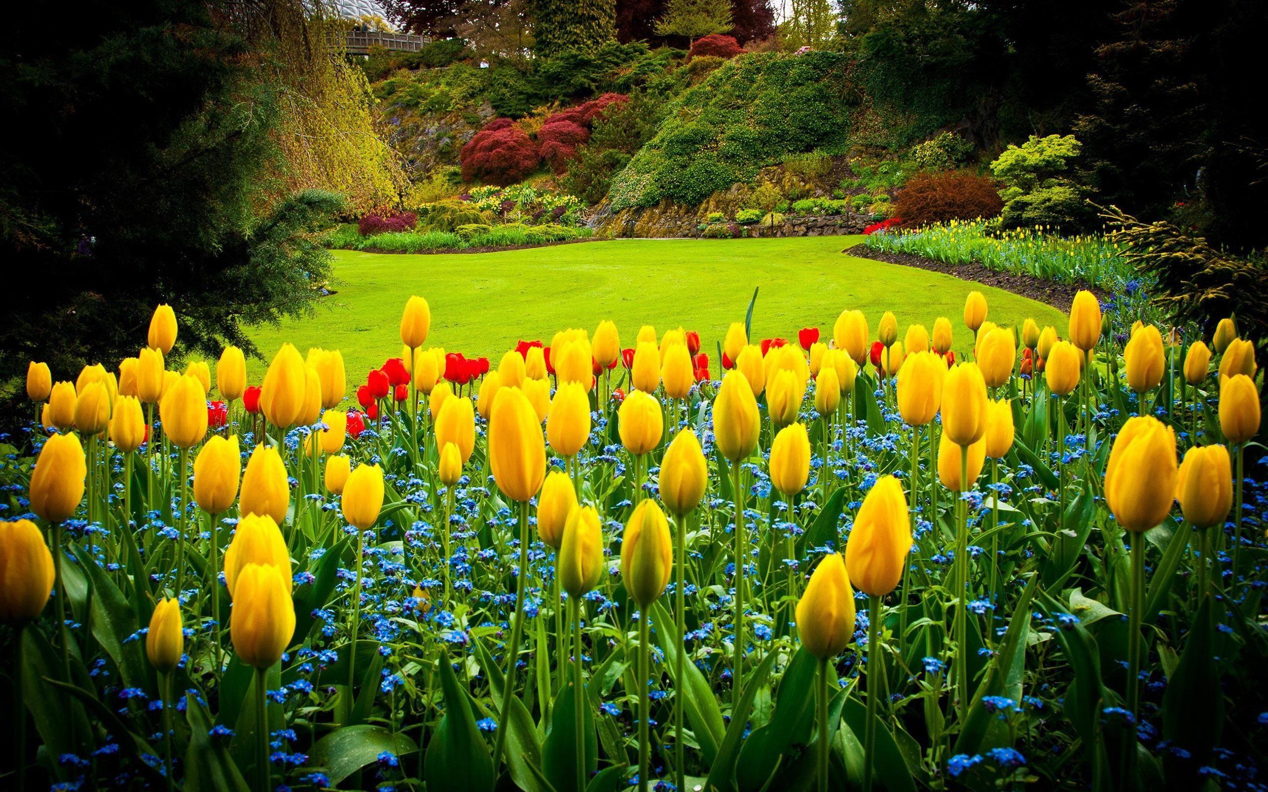 Tulipani Gialli In Giardino Hd Sfondo Del Desktop A Grande