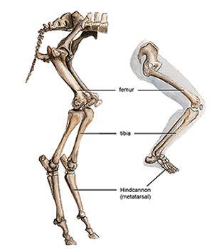 Goat vs human skeleton..... | Satyr Ideas | Pinterest | Legs ...