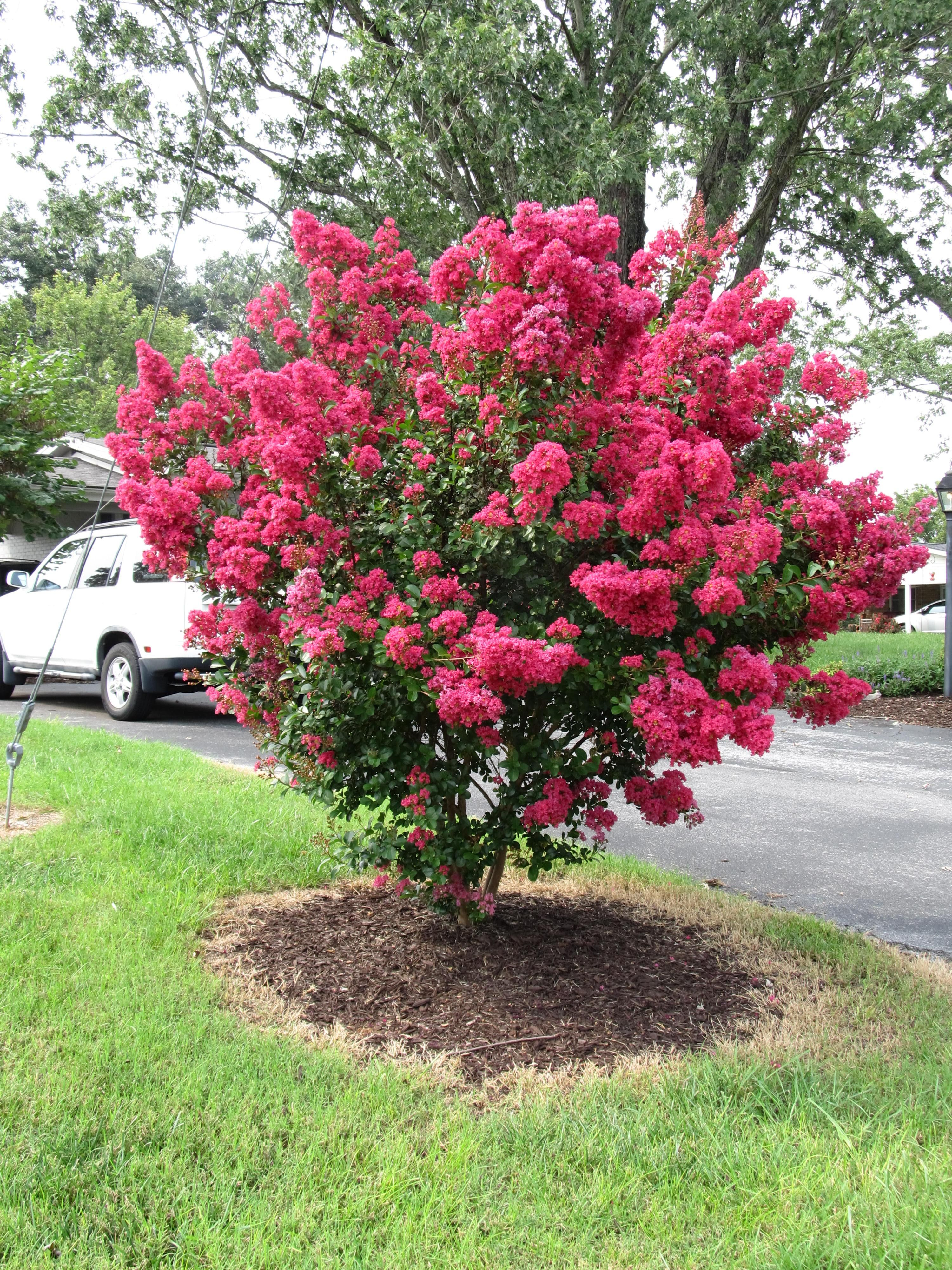 Dynamite Crape Myrtle Google Search Dwarf Flowering Trees Dwarf Trees For Landscaping Myrtle Tree