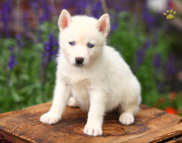 White Husky In Six Months Your Mine Husky Puppies For Sale