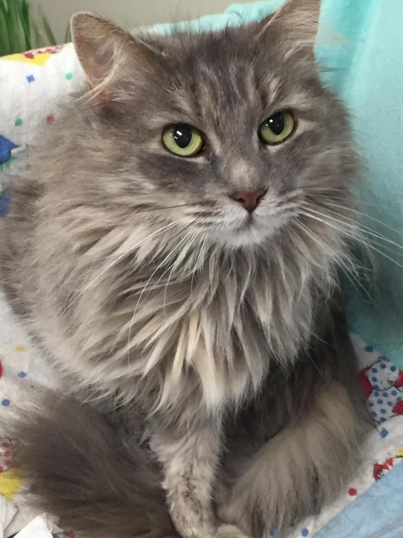 Adopt Stevie on Cool pets, Long haired cats, Animal control