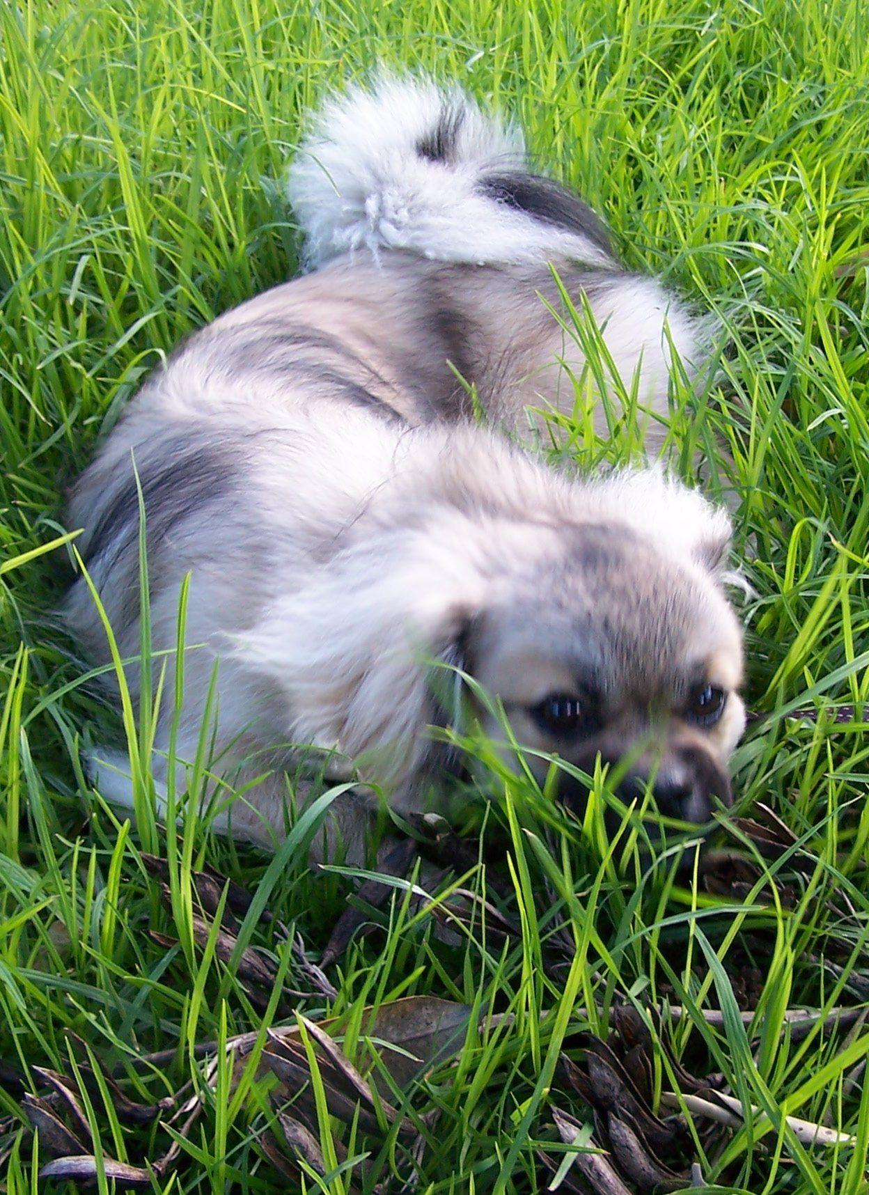 Tibetan terrier puppies for sale nz