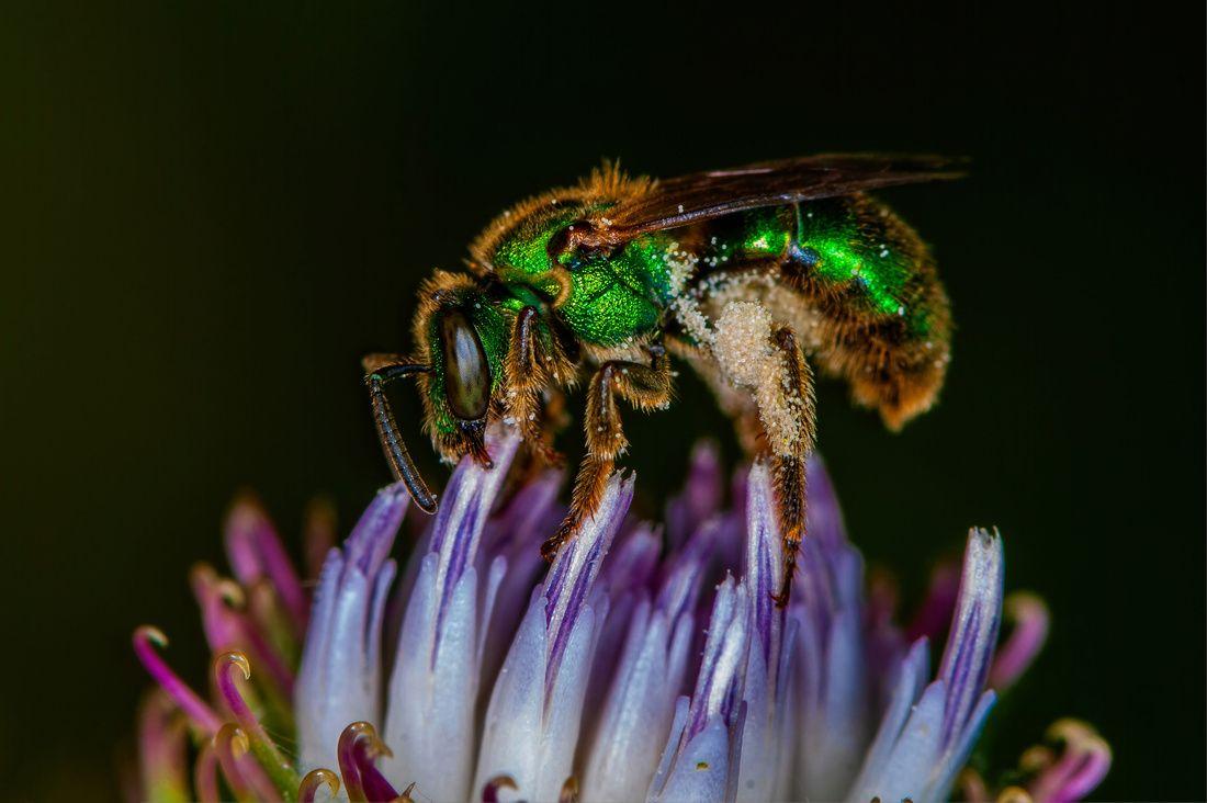 Macro003 Metallic Green Bee